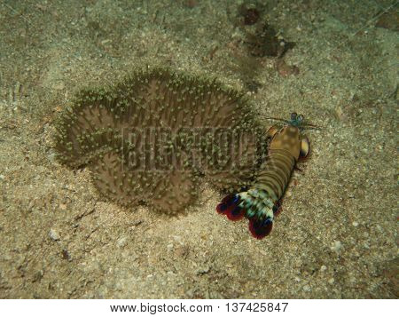 closed up the mantis shrimp in Myanmar divesite