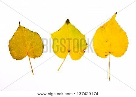 Assort Of Different Autumn Aspen Tree Leaf Isolated On White Background. With Clipping Path.