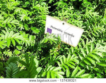 Perennial plant Silverweed (Argentina anserina- Potentilla anserina)