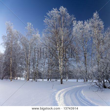 Birch Grove On A Frosty Day