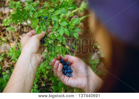 Woman gathers ripe fresh blueberries in the forest. Close-up