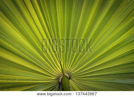 Closeup picture of palm leaf - nice texture