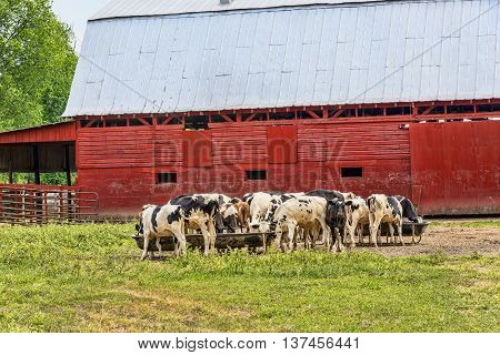 Holstein Cows Eating On Farm Next To Red Barn