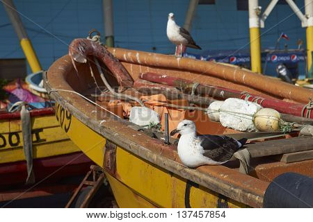 VALPARAISO, CHILE - JULY 5, 2016: Juvenile Kelp Gull (Larus dominicanus) resting on a fishing boat at the fish market in the UNESCO World Heritage port city of Valparaiso in Chile.