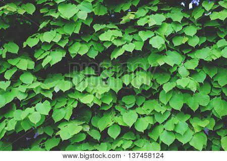 Background Hedges, Green