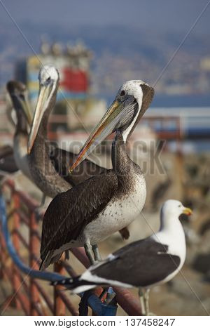 Peruvian Pelican (Pelecanus thagus) and Kelp Gull  (Larus dominicanus) perching on a railing at the fish market in the UNESCO World Heritage port city of Valparaiso in Chile.