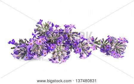 Beautiful lavender on white background