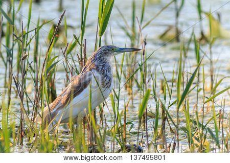 Squacco Heron (Ardeola ralloides) in Danube Delta Romania poster