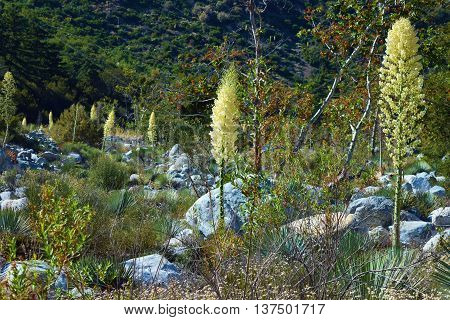 Drought tolerant chaparral woodland with Yucca Plant Flower Blossoms taken in Mt Baldy, CA