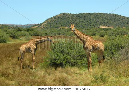Two beautiful Giraffes watching other African wildlife in a game park in South Africa poster