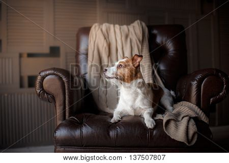 dog resting on a chair Jack Russell Terrier