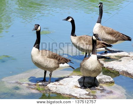 Geese on the Lake Ontario in Humber Bay Park of Toronto 31 May 2016 Canada