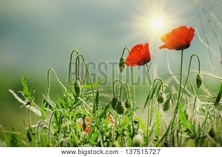 Two Red Poppy Summer Flowers Over Sunny Sky