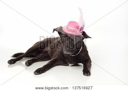 A black, mixed-breed, female dog wearing a fancy pink fascinator hat. Isolated on a white, seamless background. According to DNA testing
