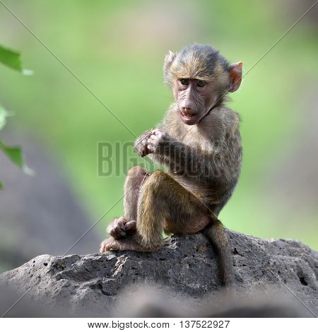 cute baby baboon in african natural park
