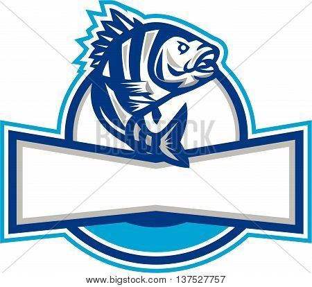Illustration of a sheepshead (Archosargus probatocephalus) a marine fish jumping up set inside half circle done in retro style.