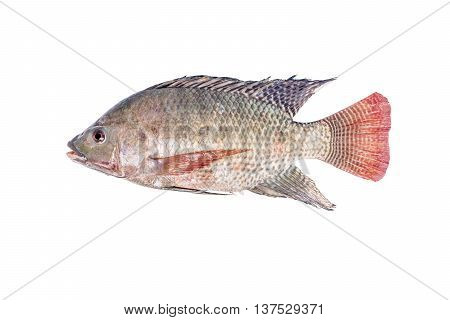 Fresh Tilapia Or Nile Tilapia Fish