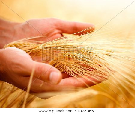 Wheat ears in the hands.Harvest concept