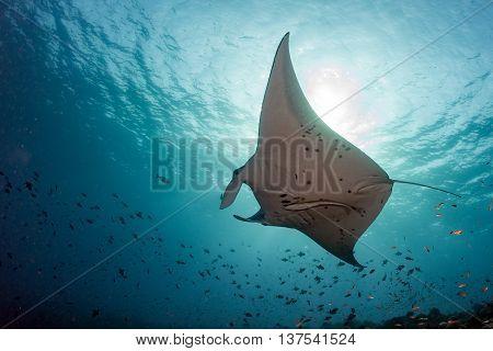Manta Underwater In The Blue Ocean Background