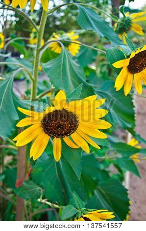 Blooming sunflowers in summer. beautyfull of nature