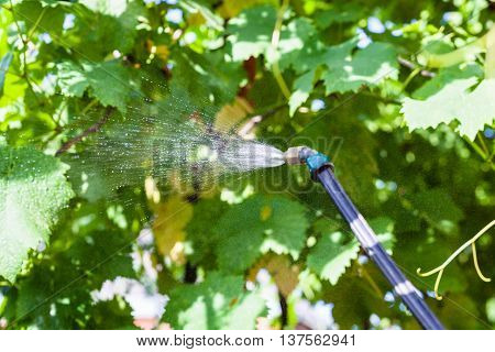 Spraying Of Vineyard By Pesticide