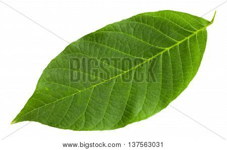 Green Leaf Of Common Walnut Tree Isolated