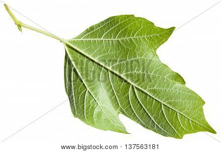 Back Side Of Green Leaf Of Viburnum Plant Isolated