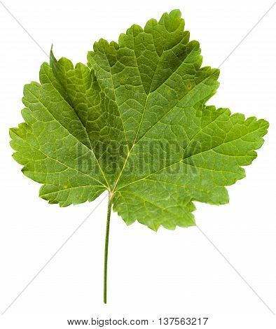 Fresh Leaf Of Grape Vine Plant (vitis Vinifera)