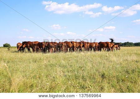 Herd of beautiful chestnut horses. Young horses grazing in a meadow near the farm
