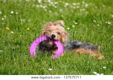 A terrier dog with a purple frisbee in it's mouth