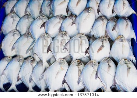 White Pomfret isolated on blue backgrond, The seafood on the market.