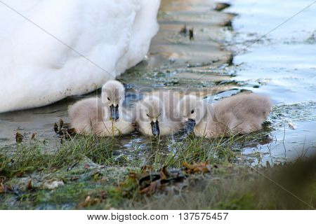 A trio of Mute Swan cygnets feeding together