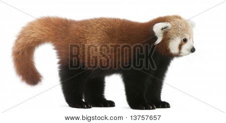 Young Red panda or Shining cat, Ailurus fulgens, 7 months old, in front of white background