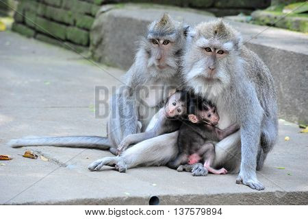 A monkey family with two babies in Bali Ubud Sacred Monkey Forest Temple
