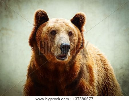 Closeup portrait of a brown bear