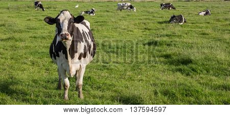 Panorama of Dutch Holstein Zwartbont cow in a green grass meadow