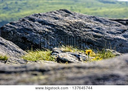 yellow dandelion in the grass among the huge rocks on hillside in high mountains