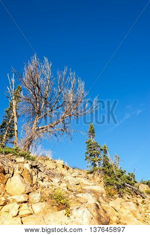 Rugged Trees In The Beartooth Mountains