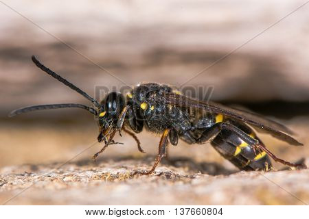 Digger wasp (Argogorytes mystaceus) preening. Black and yellow insect in the family Crabronidae cleaning front legs with mouth