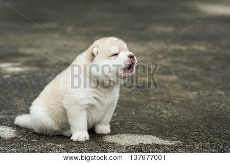 Cute siberian husky puppy howling on concrete floor after rainingvintage filter