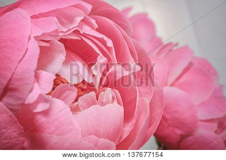 Peony in all its splendor against a white background