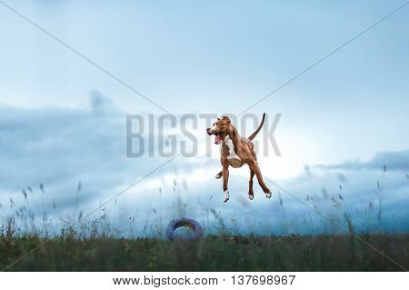 Dog Playing, Jumping, Pit Bull Terrier