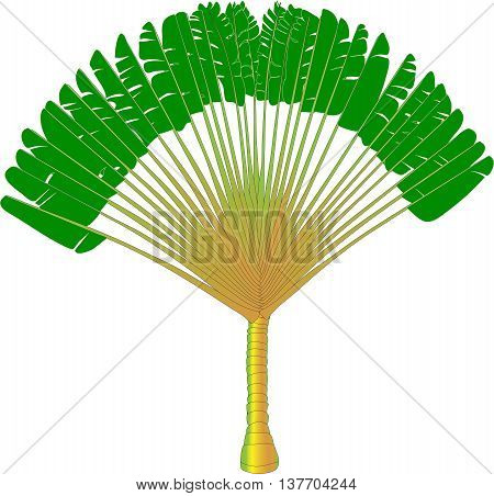 Ravenala - traveller's palm - vector drawing of a fan palm tree