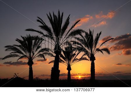 Silhouettes of palm trees at sunset background in the Negev desert Israel