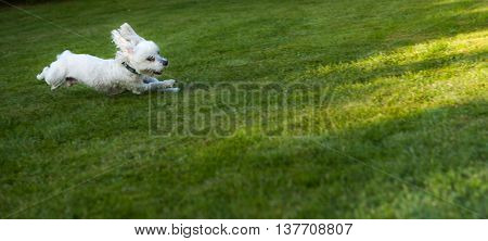 Happy dog pet running on a lawn