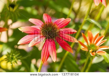 Echinacea is a genus, or group of herbaceous flowering plants in the daisy family