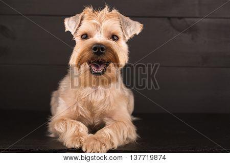 Closeup Yorkshire Terrier Dog Standing On Black Mirror Background