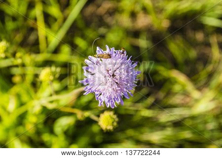 Knautia Arvensis And Her Guests.