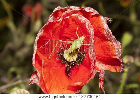 green grasshopper on wild red poppy flower