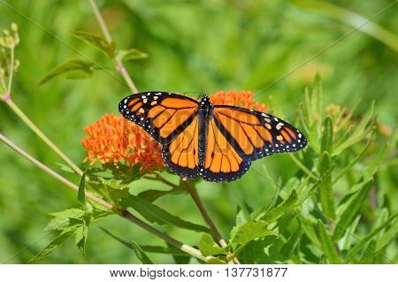 A monarch butterfly on orange milkweed in the garden